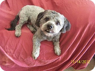 Shih Tzu Mix Dog for adoption in Scottsdale, Arizona - Cody
