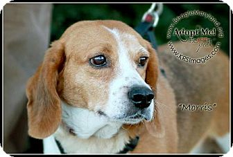 Beagle Dog for adoption in Waldorf, Maryland - Morris