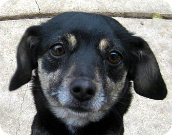 Dachshund/Miniature Pinscher Mix Dog for adoption in Oakley, California - Ellie May