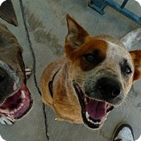 Adopt A Pet :: Cute Cattle Dog & Blue Pit - Santa Monica, CA