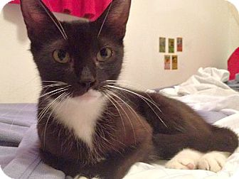 Domestic Shorthair Cat for adoption in Brooklyn, New York - Chloe, Super Sweet young Cat
