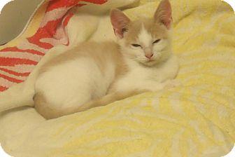 Domestic Shorthair Kitten for adoption in Acme, Pennsylvania - ENZO
