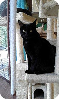 Domestic Shorthair Cat for adoption in Cumberland and Baltimore, Maryland - Arendelle