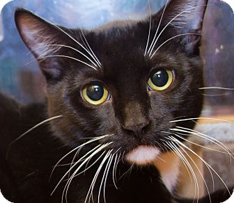 Domestic Shorthair Kitten for adoption in Irvine, California - Spirit