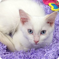 Snowshoe Kitten for adoption in Beaumont, Texas - Nicholas