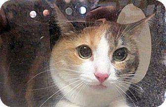 Domestic Shorthair Cat for adoption in Wildomar, California - Norma Jean