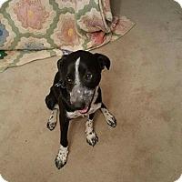 Adopt A Pet :: Star - Dixon, KY