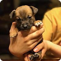 Adopt A Pet :: Cider - Tucson, AZ