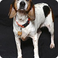 Beagle Mix Dog for adoption in Gloucester, Virginia - PECAN