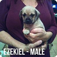 Adopt A Pet :: EZEKIEL - Glendale, AZ