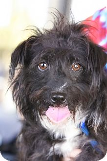 Scottie, Scottish Terrier Mix Dog for adoption in Scottsdale, Arizona - Oscar