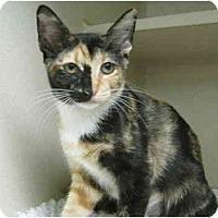 Adopt A Pet :: Callie - Mesa, AZ