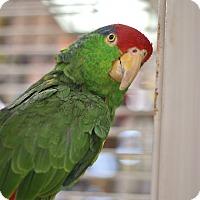 Adopt A Pet :: Buddy - Villa Park, IL