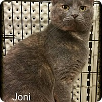 Domestic Shorthair Cat for adoption in Lexington, Kentucky - Joni