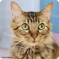 Adopt A Pet :: Sassy Sunshine (declawed) - Homewood, AL