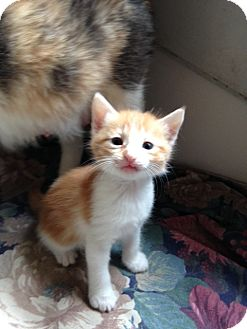 Domestic Mediumhair Kitten for adoption in Ravenna, Texas - Possum