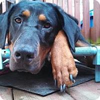 Doberman Pinscher Mix Dog for adoption in Asheville, North Carolina - Tammy