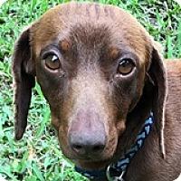 Adopt A Pet :: Benny Brisket - Houston, TX