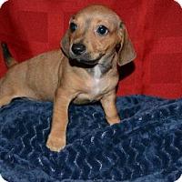Adopt A Pet :: Ro Laren - Houston, TX