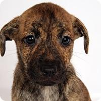 Adopt A Pet :: Sandy CatahoulaMix - St. Louis, MO