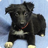 Adopt A Pet :: TOOTSIE - Westminster, CO