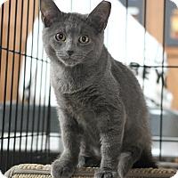 Domestic Shorthair Kitten for adoption in Carlisle, Pennsylvania - Haley