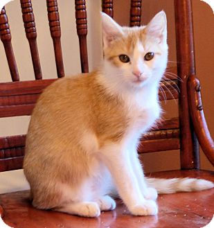 Domestic Shorthair Kitten for adoption in Morganton, North Carolina - Colin