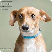 Adopt A Pet :: Mandy - Chandler, AZ