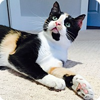 Domestic Shorthair Cat for adoption in Chattanooga, Tennessee - Dolly