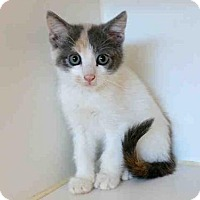Domestic Shorthair Kitten for adoption in Texas City, Texas - VICKI