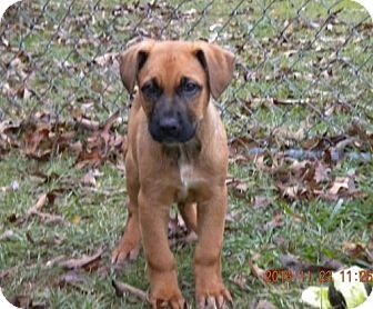 Shepherd (Unknown Type) Mix Puppy for adoption in Providence, Rhode Island - Orson CC