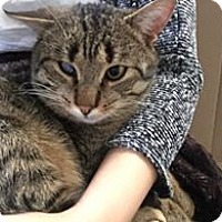 Adopt A Pet :: GOODIE - THORNHILL, ON