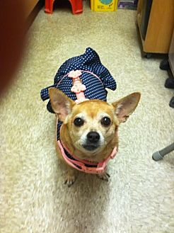 Chihuahua Dog for adoption in Los Angeles, California - Pumpkin