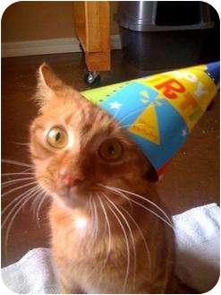 Domestic Shorthair Cat for adoption in Cocoa, Florida - Lieutenant Dan