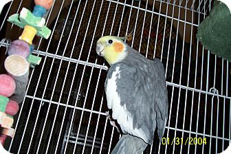 Cockatiel for adoption in Lexington, Georgia - Sanford