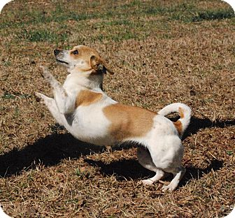 Chihuahua/Dachshund Mix Dog for adoption in Greensboro, Georgia - Mimi- Adopted!