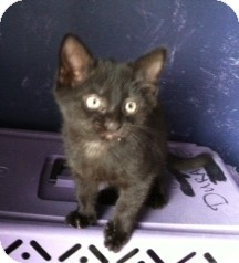 Domestic Shorthair Kitten for adoption in Horsham, Pennsylvania - Simon