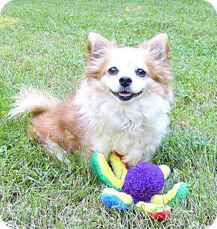 Brando Adopted Dog Mocksville Nc Pomeranian Chihuahua Mix