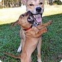 Adopt A Pet :: CUPCAKE - Brooksville, FL