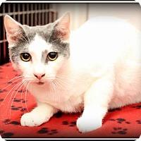 Domestic Shorthair Cat for adoption in Orlando, Florida - Storm (KL) 4.28.13