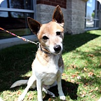 Adopt A Pet :: Shorty - Richmond, VA
