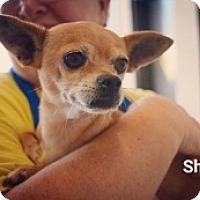 Adopt A Pet :: Shira - Mesa, AZ