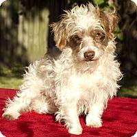 Adopt A Pet :: Benji-Tiny Cutey N-Fostered in CT - Alvin, TX