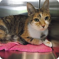 Domestic Shorthair Cat for adoption in Chambersburg, Pennsylvania - Tinker Bell