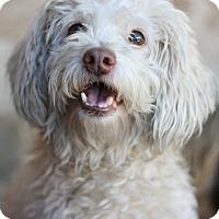 Poodle (Miniature) Dog for adoption in Canoga Park, California - Casper
