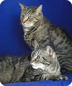 American Shorthair Cat for adoption in Jackson, New Jersey - Gianna & Tony