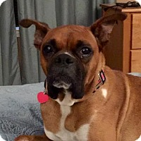 Boxer Dog for adoption in Wilmington, North Carolina - Asia