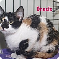 Domestic Shorthair Kitten for adoption in Baton Rouge, Louisiana - Gracie