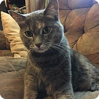 Domestic Shorthair Cat for adoption in Milwaukee, Wisconsin - Sassy