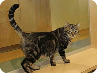 Domestic Mediumhair Cat for adoption in Pittsburgh, Pennsylvania - NECTAR